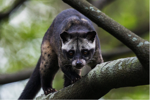 palm tree civet