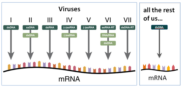viruses and us with respect to nucleic acid processing